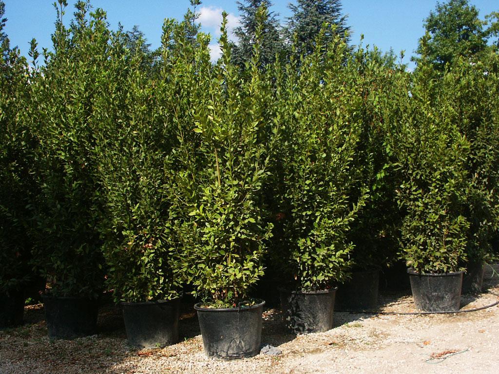 Piantemati piante e vivai alberature mati - Arbusti sempreverdi da giardino ...